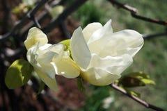Magnolia flower on a tree Stock Photo