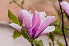 Magnolia flower on the tree. Spring pink large magnolia flower on a tree branch in the garden stock photos