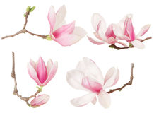 Magnolia flower twig spring collection Royalty Free Stock Image