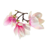 Magnolia flower on white Stock Image