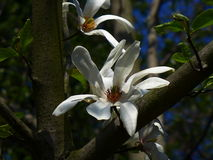 Magnolia Flower - White Royalty Free Stock Photography