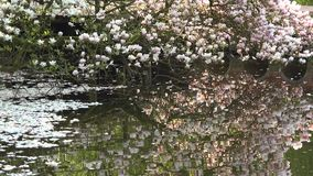 Magnolia flowered tree reflected in water, petals floating on lake. UHD 4K stock video footage
