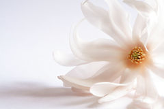 Magnolia flowerhead. Fresh magnolia flower one of the first trees to bloom in spring royalty free stock photo