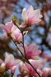 Magnolia. Flowering branch of the chinese magnolia. Closeup Stock Image