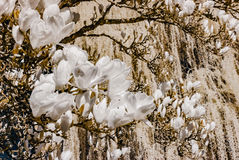 Magnolia flowering in infra red view. Alsace, France Royalty Free Stock Photo