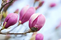 Free Magnolia Flowers Royalty Free Stock Photography - 13932957