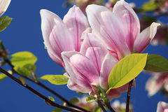Magnolia flowers Royalty Free Stock Photo