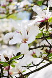 Magnolia flowers. Beautiful white and pink magnolia flowers on tree branch Stock Image
