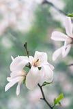 Magnolia flowers Stock Image