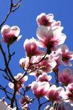 Magnolia flowers Royalty Free Stock Photo