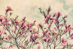 Magnolia Flowers Against a Cloudy Blue Sky - Retro Stock Images