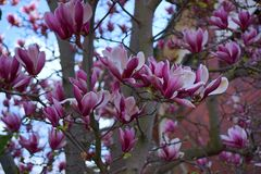 Magnolia flowers in Australia royalty free stock photo