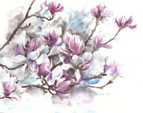 Magnolia flowers blooming spring blossom magnolia tree watercolor painting royalty free stock image