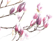 Magnolia flowers blooming spring blossom magnolia tree watercolor painting isolated on white background Royalty Free Stock Photos