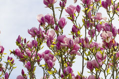 Magnolia flowers blooming for spring Stock Images