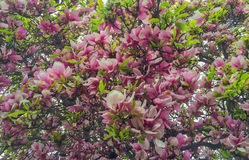 Magnolia flowers. Blooming magnolia tree. In the spring stock image