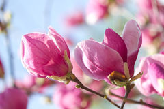Magnolia flowers blossom Royalty Free Stock Image