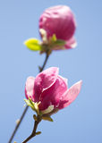 Magnolia flowers blossom Stock Images