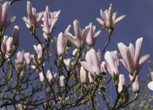 Magnolia flowers in blossom on the blue sky background Royalty Free Stock Photography