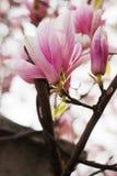Magnolia flowers blossom Stock Photos