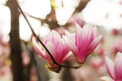 Magnolia flowers blossom Stock Photography