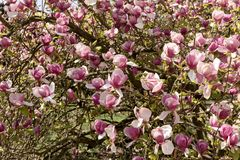 Magnolia flowers in blossom. Flowering magnolia tree stock photography