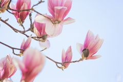Magnolia flowers blossom Royalty Free Stock Photography