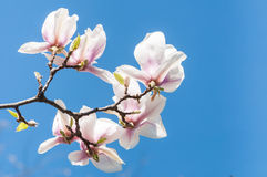 Magnolia flowers on blue background Royalty Free Stock Photo