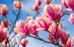 Magnolia flowers on a blue sky background. Magnolia flowers branch on a blue sky background Royalty Free Stock Images