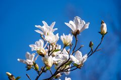 Magnolia flowers on a blue sky background. White magnolia flowers branch on a blue sky background Stock Photo