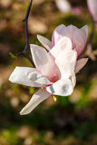 Magnolia flowers on a blurry background. Magnolia flowers close up with shallow depth of field on a blurry background Stock Image