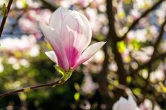 Magnolia flowers on a blurry background. Magnolia flowers close up with shallow depth of field on a blurry background Royalty Free Stock Image