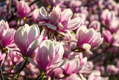 Magnolia flowers on a blurry background. Magnolia flowers close up with shallow depth of field on a blur background Stock Images