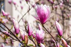 Magnolia flowers on a blurry background. Magnolia flowers close up with shallow depth of field on a blur background Royalty Free Stock Photo