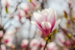 Magnolia flowers on a blurry background. Magnolia flowers close up with shallow depth of field on a blur background Stock Photos
