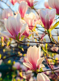 Magnolia flowers on a blurry background. Magnolia flowers close up with shallow depth of field on a blur background Stock Image
