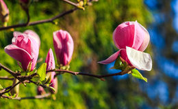 Magnolia flowers on a blurry background. Magnolia flowers close up with shallow depth of field on a blur background Royalty Free Stock Image