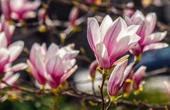 Magnolia flowers on a blurry background. Magnolia flowers close up with shallow depth of field on a blur background Stock Photo