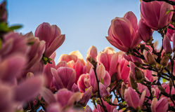 Magnolia flowers on a blurry background. Magnolia flowers close up with shallow depth of field on a blur background Royalty Free Stock Images