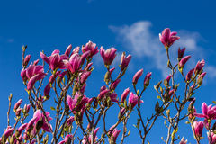 Magnolia flowers on a blury background Royalty Free Stock Image