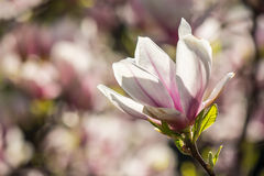 Magnolia flowers on a blury background Stock Image