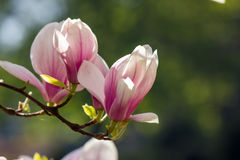 Magnolia flowers on a blury background. Magnolia flowers close up on a blur green grass and leaves background Stock Photography