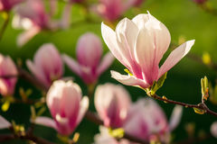 Magnolia flowers on a blury background Stock Photo