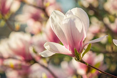 Magnolia flowers on a blury background Royalty Free Stock Photography