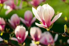 Magnolia flowers on a blury background. Magnolia flowers close up on a blur green grass and leaves background Royalty Free Stock Image