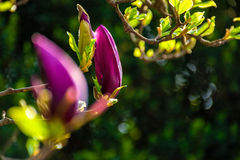Magnolia flowers on a blury background. Magnolia flowers close up on a blur green grass and leaves background Stock Photo