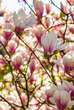 Magnolia flowers on a blury background. Magnolia flowers close up on a blur green grass and leaves background Stock Images
