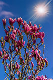 Magnolia flowers on a blury background at sunset Royalty Free Stock Photo