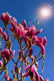 Magnolia flowers on a blury background at sunset Stock Photos