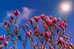 Magnolia flowers on a blury background at sunset Royalty Free Stock Photos